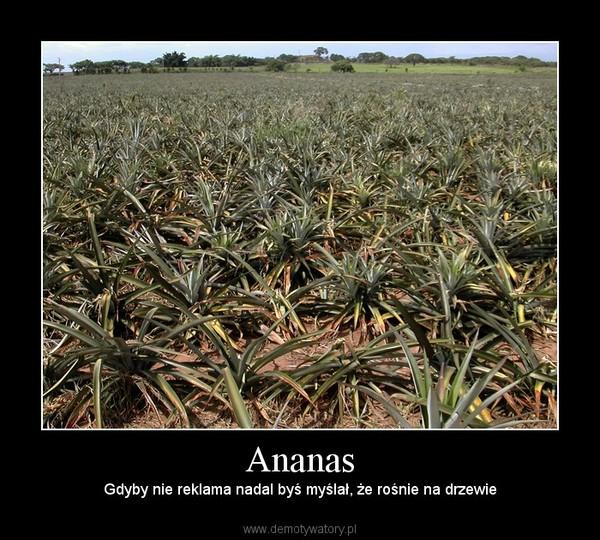 Ananas – Gdyby nie reklama nadal byś myślał, że rośnie na drzewie