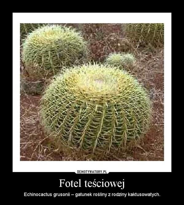Fotel teściowej – Echinocactus grusonii – gatunek rośliny z rodziny kaktusowatych.