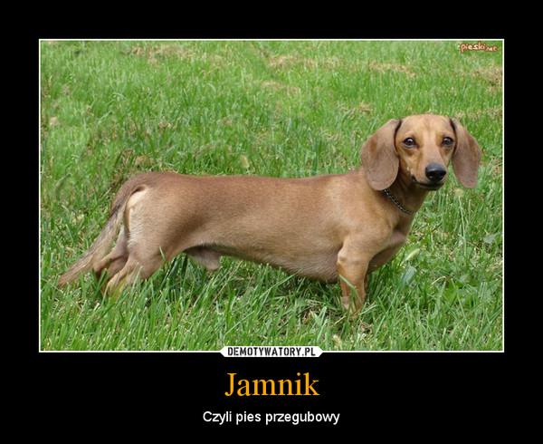 Jamnik – Czyli pies przegubowy