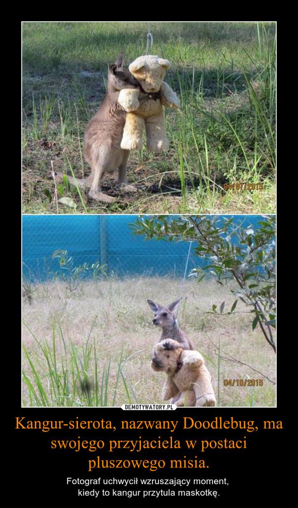 Kangur-sierota, nazwany Doodlebug, ma swojego przyjaciela w postaci pluszowego misia. – Fotograf uchwycił wzruszający moment, kiedy to kangur przytula maskotkę.