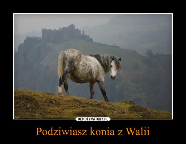 Podziwiasz konia z Walii –