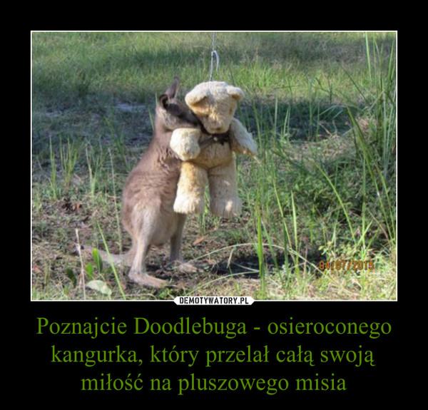 Poznajcie Doodlebuga - osieroconego kangurka, który przelał całą swoją miłość na pluszowego misia –