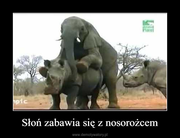 Słoń zabawia się z nosorożcem –