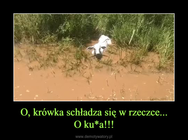 O, krówka schładza się w rzeczce...O ku*a!!! –
