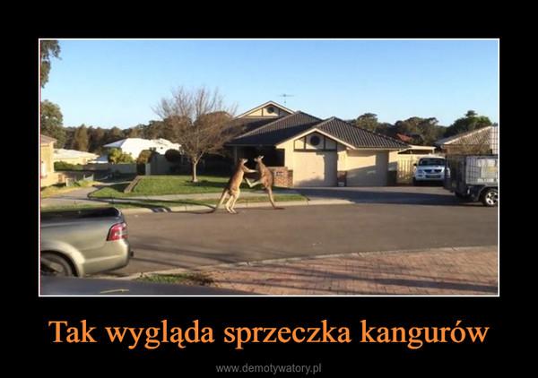 Tak wygląda sprzeczka kangurów –