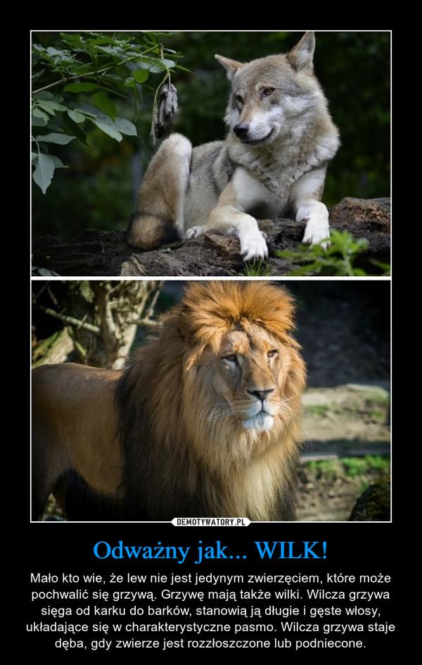 Odważny jak... WILK! – Mało kto wie, że lew nie jest jedynym zwierzęciem, które może pochwalić się grzywą. Grzywę mają także wilki. Wilcza grzywa sięga od karku do barków, stanowią ją długie i gęste włosy, układające się w charakterystyczne pasmo. Wilcza grzywa staje dęba, gdy zwierze jest rozzłoszczone lub podniecone.