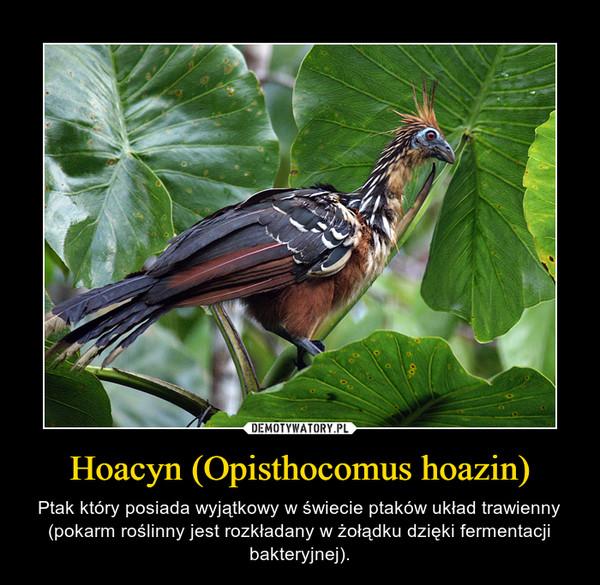 Hoacyn (Opisthocomus hoazin) – Ptak który posiada wyjątkowy w świecie ptaków układ trawienny (pokarm roślinny jest rozkładany w żołądku dzięki fermentacji bakteryjnej).
