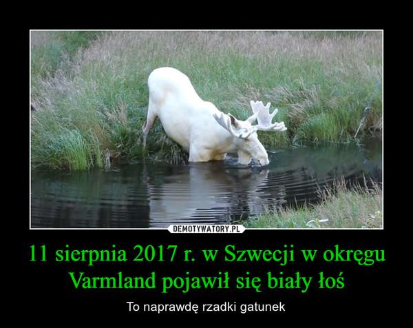 11 sierpnia 2017 r. w Szwecji w okręgu Varmland pojawił się biały łoś – To naprawdę rzadki gatunek