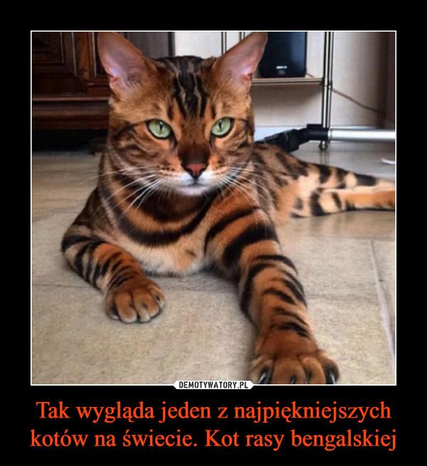 Tak wygląda jeden z najpiękniejszych kotów na świecie. Kot rasy bengalskiej –