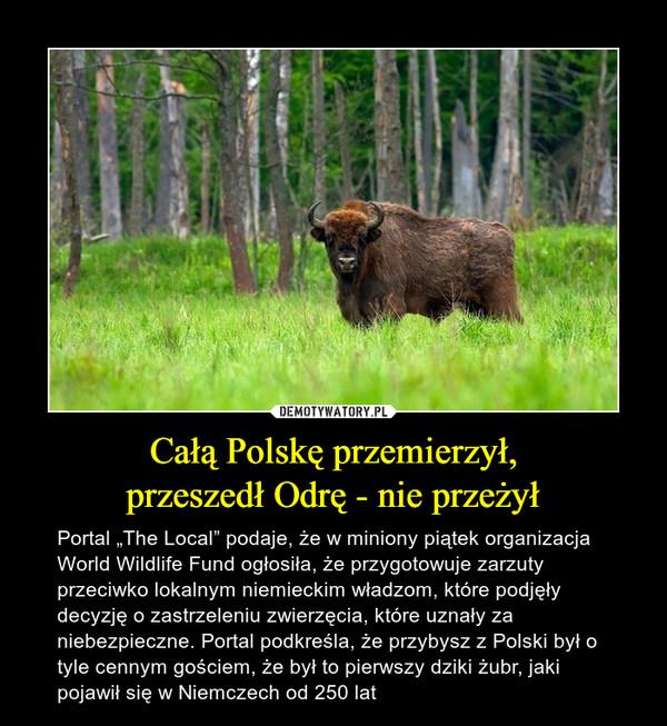 """Całą Polskę przemierzył,przeszedł Odrę - nie przeżył – Portal """"The Local"""" podaje, że w miniony piątek organizacja World Wildlife Fund ogłosiła, że przygotowuje zarzuty przeciwko lokalnym niemieckim władzom, które podjęły decyzję o zastrzeleniu zwierzęcia, które uznały za niebezpieczne. Portal podkreśla, że przybysz z Polski był o tyle cennym gościem, że był to pierwszy dziki żubr, jaki pojawił się w Niemczech od 250 lat"""