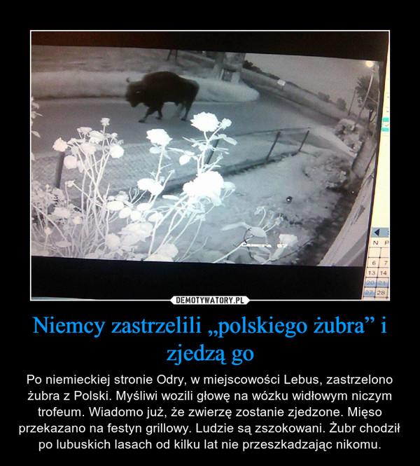 """Niemcy zastrzelili """"polskiego żubra"""" i zjedzą go – Po niemieckiej stronie Odry, w miejscowości Lebus, zastrzelono żubra z Polski. Myśliwi wozili głowę na wózku widłowym niczym trofeum. Wiadomo już, że zwierzę zostanie zjedzone. Mięso przekazano na festyn grillowy. Ludzie są zszokowani. Żubr chodził po lubuskich lasach od kilku lat nie przeszkadzając nikomu."""