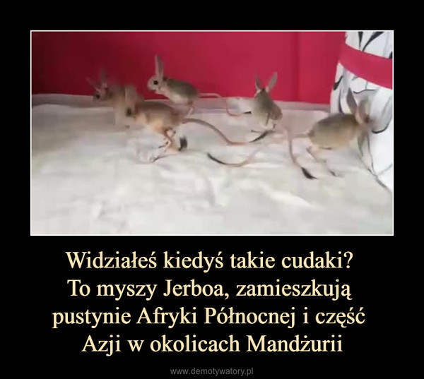 Widziałeś kiedyś takie cudaki? To myszy Jerboa, zamieszkują pustynie Afryki Północnej i część Azji w okolicach Mandżurii –