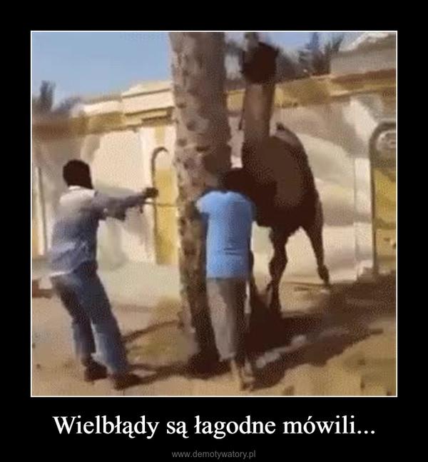 Wielbłądy są łagodne mówili... –