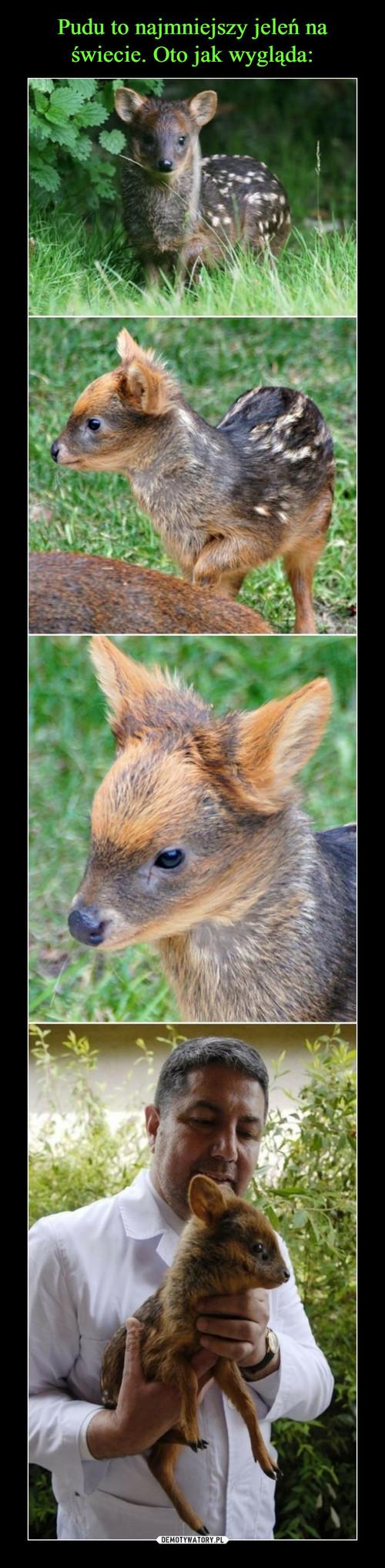 Pudu to najmniejszy jeleń na świecie. Oto jak wygląda: