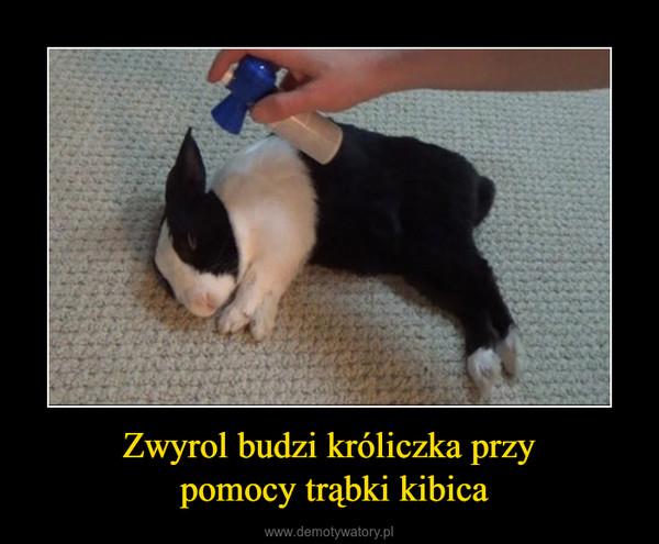 Zwyrol budzi króliczka przy pomocy trąbki kibica –
