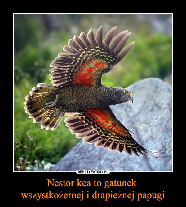 Nestor kea to gatunek wszystkożernej i drapieżnej papugi –