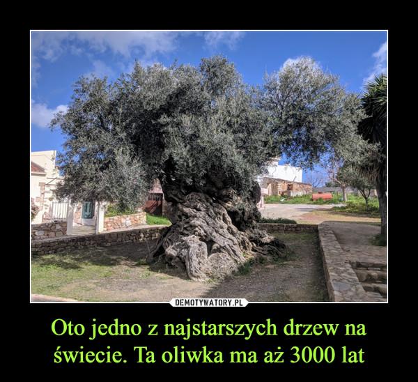 Oto jedno z najstarszych drzew na świecie. Ta oliwka ma aż 3000 lat –