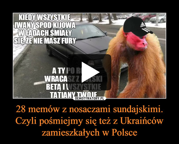 28 memów z nosaczami sundajskimi. Czyli pośmiejmy się też z Ukraińców zamieszkałych w Polsce –