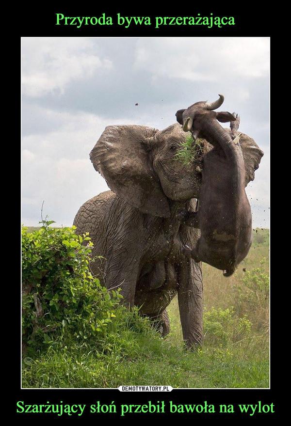 Szarżujący słoń przebił bawoła na wylot –