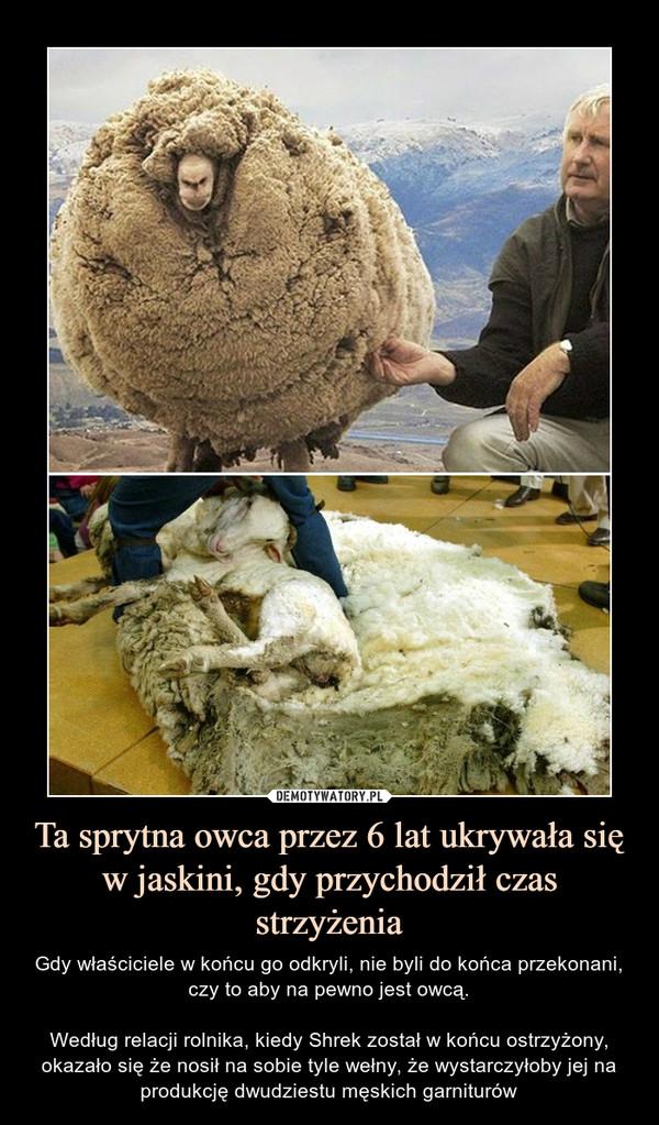 Ta sprytna owca przez 6 lat ukrywała się w jaskini, gdy przychodził czas strzyżenia – Gdy właściciele w końcu go odkryli, nie byli do końca przekonani, czy to aby na pewno jest owcą.Według relacji rolnika, kiedy Shrek został w końcu ostrzyżony, okazało się że nosił na sobie tyle wełny, że wystarczyłoby jej na produkcję dwudziestu męskich garniturów