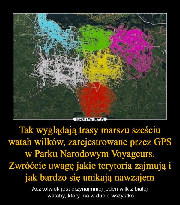 Tak wyglądają trasy marszu sześciu watah wilków, zarejestrowane przez GPS w Parku Narodowym Voyageurs. Zwróćcie uwagę jakie terytoria zajmują i jak bardzo się unikają nawzajem – Aczkolwiek jest przynajmniej jeden wilk z białej watahy, który ma w dupie wszystko