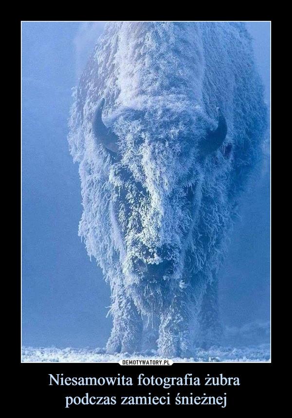 Niesamowita fotografia żubra podczas zamieci śnieżnej –