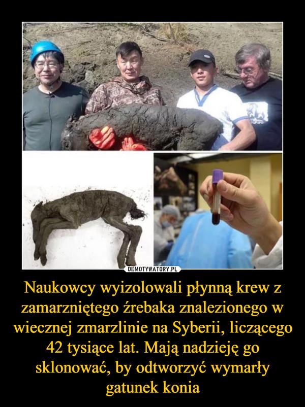 Naukowcy wyizolowali płynną krew z zamarzniętego źrebaka znalezionego w wiecznej zmarzlinie na Syberii, liczącego 42 tysiące lat. Mają nadzieję go sklonować, by odtworzyć wymarły gatunek konia –