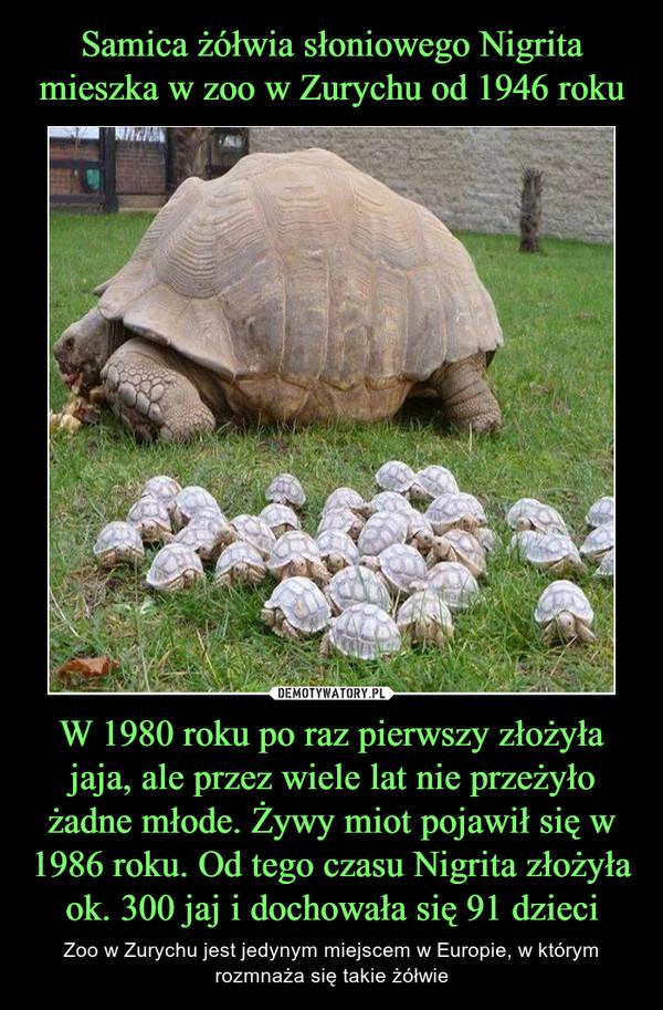 W 1980 roku po raz pierwszy złożyła jaja, ale przez wiele lat nie przeżyło żadne młode. Żywy miot pojawił się w 1986 roku. Od tego czasu Nigrita złożyła ok. 300 jaj i dochowała się 91 dzieci – Zoo w Zurychu jest jedynym miejscem w Europie, w którym rozmnaża się takie żółwie
