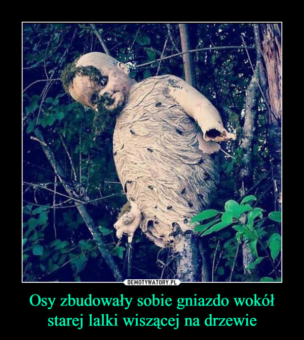 Osy zbudowały sobie gniazdo wokół starej lalki wiszącej na drzewie –