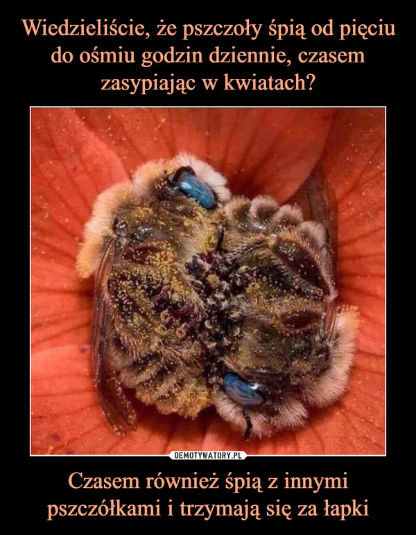 Czasem również śpią z innymi pszczółkami i trzymają się za łapki –