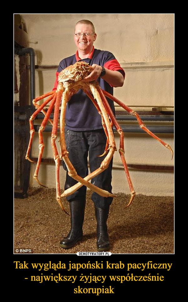 Tak wygląda japoński krab pacyficzny - największy żyjący współcześnie skorupiak –
