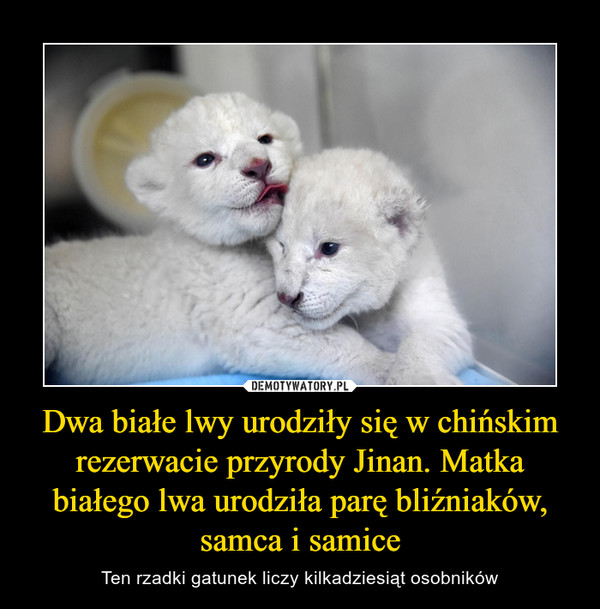 Dwa białe lwy urodziły się w chińskim rezerwacie przyrody Jinan. Matka białego lwa urodziła parę bliźniaków, samca i samice – Ten rzadki gatunek liczy kilkadziesiąt osobników