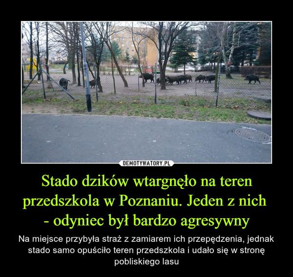 Stado dzików wtargnęło na teren przedszkola w Poznaniu. Jeden z nich - odyniec był bardzo agresywny – Na miejsce przybyła straż z zamiarem ich przepędzenia, jednak stado samo opuściło teren przedszkola i udało się w stronę pobliskiego lasu