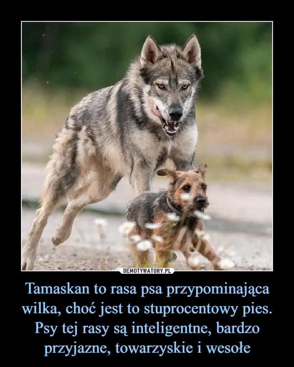 Tamaskan to rasa psa przypominająca wilka, choć jest to stuprocentowy pies. Psy tej rasy są inteligentne, bardzo przyjazne, towarzyskie i wesołe –