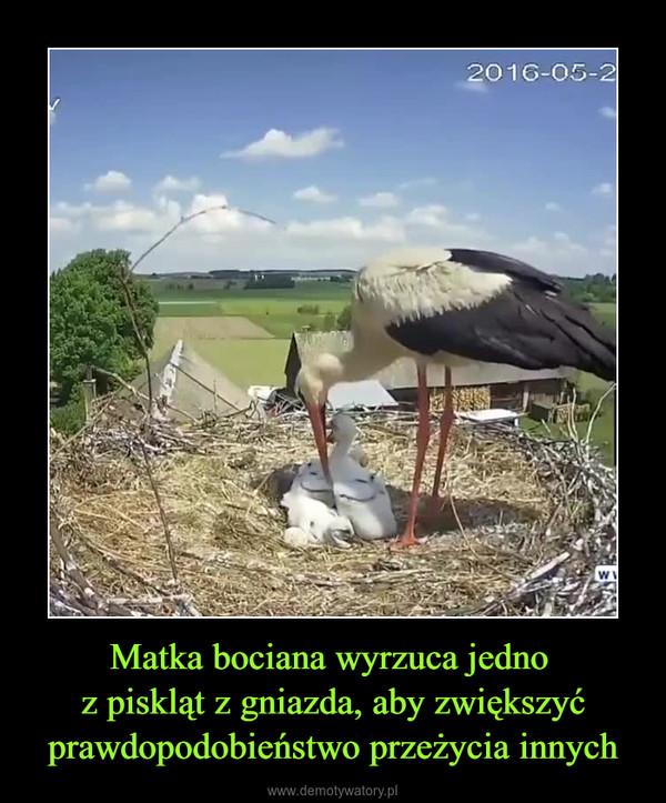 Matka bociana wyrzuca jedno z piskląt z gniazda, aby zwiększyć prawdopodobieństwo przeżycia innych –