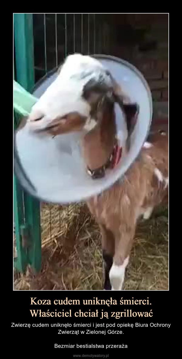 Koza cudem uniknęła śmierci.Właściciel chciał ją zgrillować – Zwierzę cudem uniknęło śmierci i jest pod opiekę Biura Ochrony Zwierząt w Zielonej Górze.Bezmiar bestialstwa przeraża