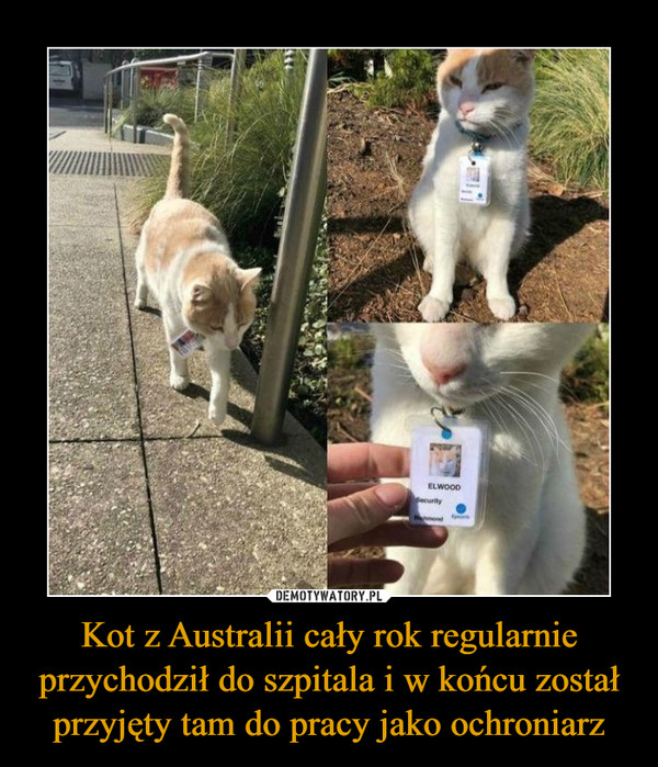 Kot z Australii cały rok regularnie przychodził do szpitala i w końcu został przyjęty tam do pracy jako ochroniarz –