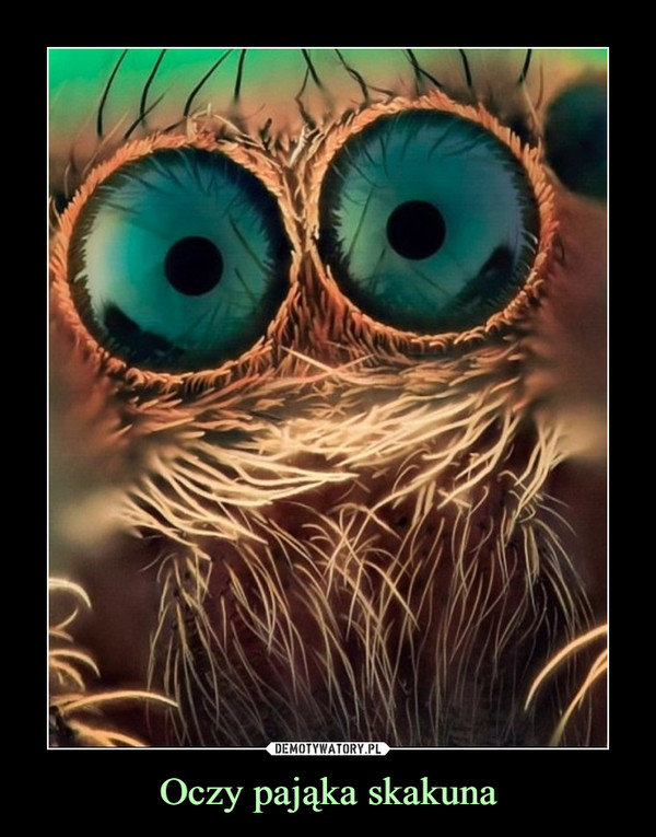 Oczy pająka skakuna –