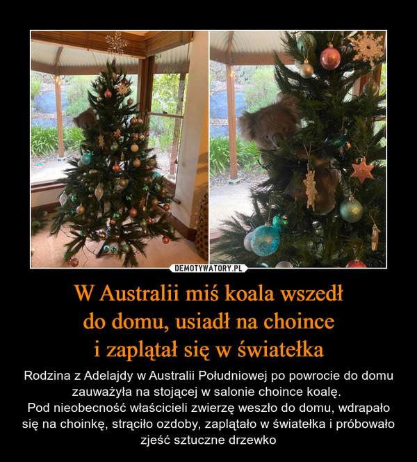W Australii miś koala wszedłdo domu, usiadł na choincei zaplątał się w światełka – Rodzina z Adelajdy w Australii Południowej po powrocie do domu zauważyła na stojącej w salonie choince koalę. Pod nieobecność właścicieli zwierzę weszło do domu, wdrapało się na choinkę, strąciło ozdoby, zaplątało w światełka i próbowało zjeść sztuczne drzewko
