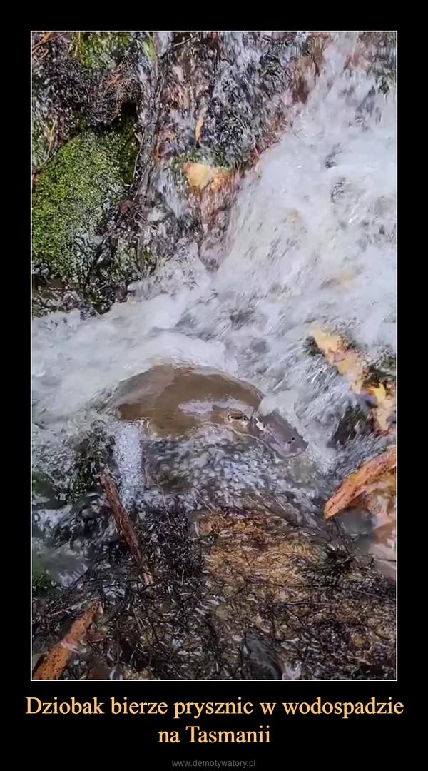 Dziobak bierze prysznic w wodospadzie na Tasmanii –