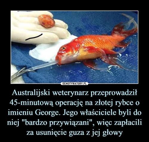 """Australijski weterynarz przeprowadził 45-minutową operację na złotej rybce o imieniu George. Jego właściciele byli do niej """"bardzo przywiązani"""", więc zapłacili za usunięcie guza z jej głowy"""