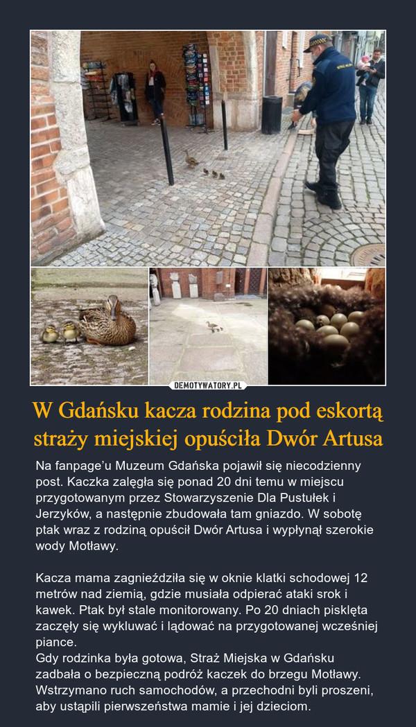 W Gdańsku kacza rodzina pod eskortą straży miejskiej opuściła Dwór Artusa
