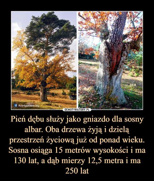 Pień dębu służy jako gniazdo dla sosny albar. Oba drzewa żyją i dzielą przestrzeń życiową już od ponad wieku. Sosna osiąga 15 metrów wysokości i ma 130 lat, a dąb mierzy 12,5 metra i ma 250 lat