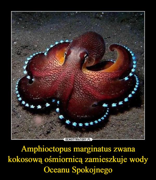 Amphioctopus marginatus zwana kokosową ośmiornicą zamieszkuje wody Oceanu Spokojnego –