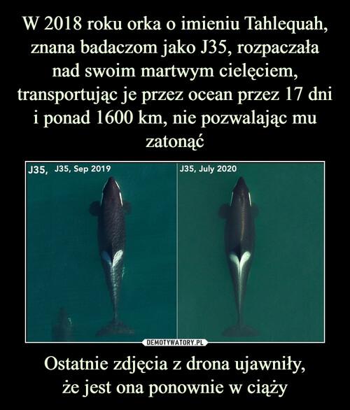 W 2018 roku orka o imieniu Tahlequah, znana badaczom jako J35, rozpaczała nad swoim martwym cielęciem, transportując je przez ocean przez 17 dni i ponad 1600 km, nie pozwalając mu zatonąć Ostatnie zdjęcia z drona ujawniły, że jest ona ponownie w ciąży
