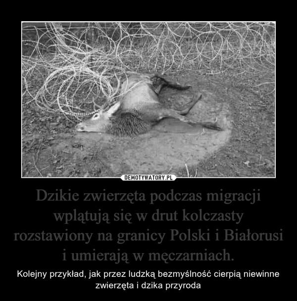 Dzikie zwierzęta podczas migracji wplątują się w drut kolczasty rozstawiony na granicy Polski i Białorusi i umierają w męczarniach. – Kolejny przykład, jak przez ludzką bezmyślność cierpią niewinne zwierzęta i dzika przyroda